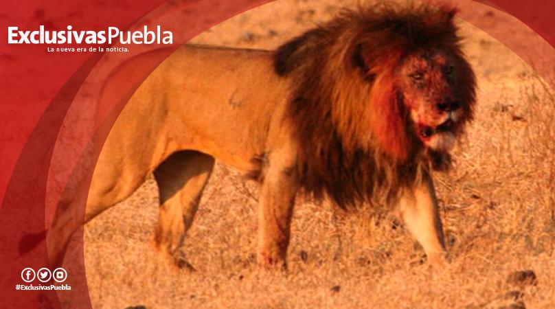 Descubren en África restos de leones gigantes.