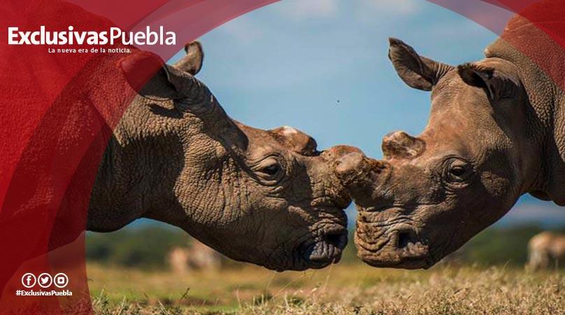 El último rinoceronte blanco del norte está en peligro de morir