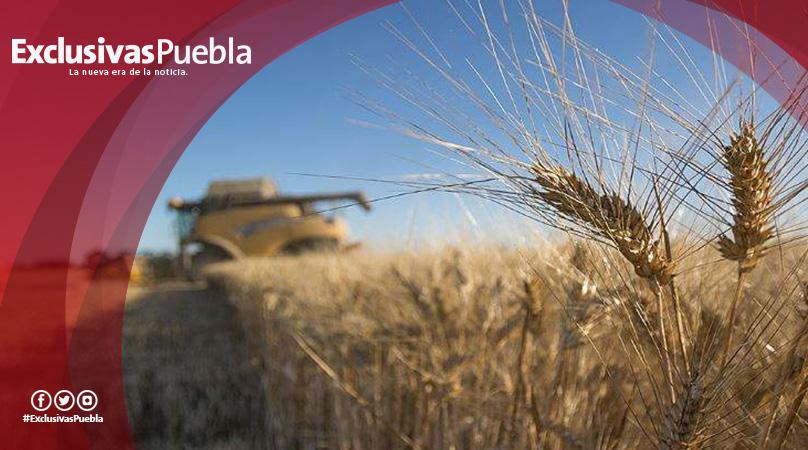 La sequía dispara el precio del trigo y otros cereales en los mercados mundiales